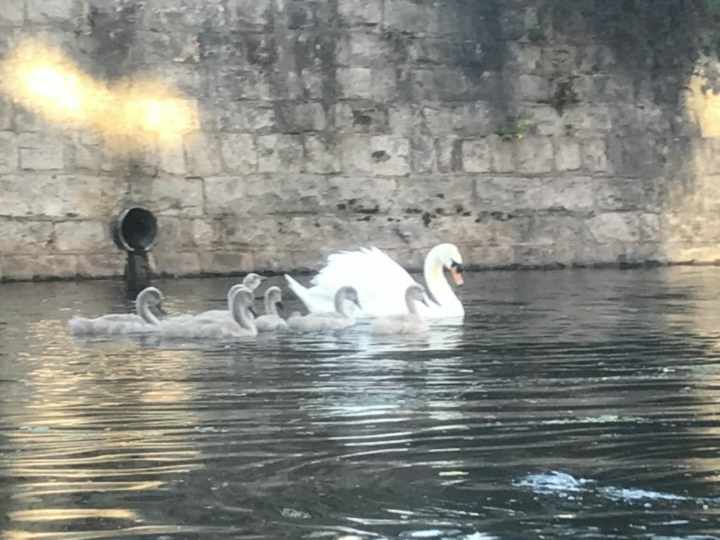 A family of swans!