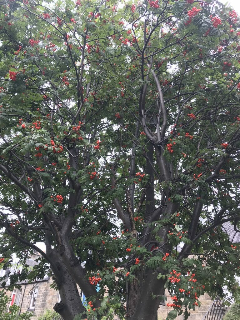 Rowan tree with red berries